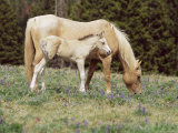Wild Horse and Foal, Mustang, Pryor Mts, Montana, USA Posters by Lynn M. Stone