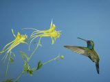 Broad Billed Hummingbird, Male Feeding on Longspur Columbine Flower, Arizona, USA Posters by Rolf Nussbaumer