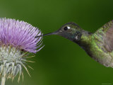 Magnificent Hummingbird, Adult Feeding on Garden Flowers, USA Prints by Dave Watts