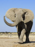 African Elephant, Walking, Namibia Photographic Print by Tony Heald