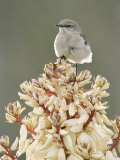 Mockingbird, Perched on Yucca Flower, Texas, USA Photographic Print by Rolf Nussbaumer