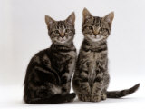 Domestic Cat, Two 8-Week Tabby Kittens, Male and Female Premium Photographic Print by Jane Burton