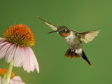 Ruby Throated Hummingbird,Male Feeding on Purple Coneflower, New Braunfels, Texas, USA Prints by Rolf Nussbaumer