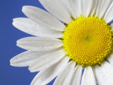 Marguerite / Ox Eye Daisy (Leucanthemum Vulgare) UK Premium Photographic Print by Pete Cairns
