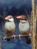 Java Sparrows, Cream (Padda Oryzivora) Photographic Print by  Reinhard