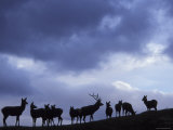 Red Deer Herd Silhouette at Dusk, Strathspey, Scotland, UK Prints by Pete Cairns