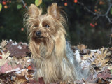 Yorkshire Terrier Dog, Illinois, USA Prints by Lynn M. Stone