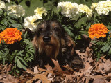 Dachshund Dog Amongst Flowers, USA Prints by Lynn M. Stone