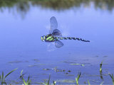 Southern Hawker Dragonfly Male Hovering Over Pond, UK Photographic Print by Kim Taylor