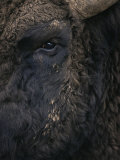 Close-Up Face of European Bison {Bison Bonasus) Photographic Print by Pete Cairns