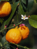 Orange Fruits and Blossom (Citrus Aurantium Sinensis) Photographic Print by  Reinhard
