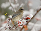 Cedar Waxwing, Young on Hawthorn with Snow, Grand Teton National Park, Wyoming, USA Print by Rolf Nussbaumer