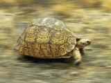 Leopard Tortoise (Geochelone Pardalis) Running Photographic Print by Jane Burton
