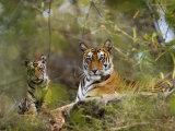 Female Tiger, with Four-Month-Old Cub, Bandhavgarh National Park, India Reprodukcja zdjęcia autor Tony Heald
