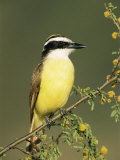 Great Kiskadee, Texas, USA Papier Photo par Rolf Nussbaumer