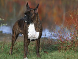 Boxer Dog, Illinois, USA Photographic Print by Lynn M. Stone