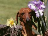 Dachshund Dog Amongst Flowers, USA Fotografisk tryk af Lynn M. Stone