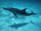 Atlantic Spotted Dolphin and Shadow on Seabed, Bahamas Fotografisk tryk af Todd Pusser