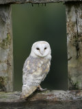 Barn Owl, in Old Farm Building Window, Scotland, UK Cairngorms National Park Poster von Pete Cairns