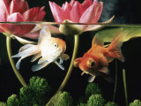 Two Goldfish (Carassius Auratus) with Waterlilies, UK Premium Photographic Print by Jane Burton