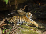 Tiger, Lying on Stone and Flicking Tail, Bandhavgarh National Park, India Photographic Print by Tony Heald