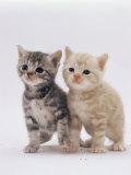 Domestic Cat (Felis Catus) Pair of 4-Week-Old Kittens Print by Jane Burton