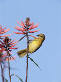 Hooded Oriole Female at Flower, Texas, USA Photographic Print by Rolf Nussbaumer