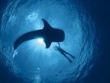 Whale Shark and Person Swimming in Silhouette, Indo Pacific Photographic Print by Jurgen Freund