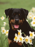 Rottweiler Dog Amongst Daffodils, USA Poster by Lynn M. Stone