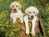 Two Labrador Retriever Puppies, USA Photo by Lynn M. Stone