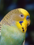 Budgerigar, Male (Melopsittacus Undulatus) Reproduction photographique par  Reinhard