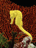 Golden Seahorse, Portraits, UK Premium Photographic Print by Jane Burton