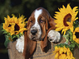 Bassett Hound Pup with Sunflowers Print by Lynn M. Stone