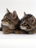Two 9-Week Wild Cat Kittens Photographic Print by Jane Burton