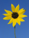 Sunflower, in Bloom, Welder Wildlife Refuge, Rockport, Texas, USA Print by Rolf Nussbaumer
