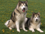 Two Alaskan Malamute Dogs, USA Print by Lynn M. Stone