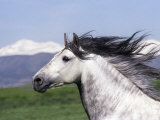 Grey Andalusian Stallion Head Portrait, Colorado, USA Print by Carol Walker