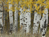 Aspen Trees in Autumn, Grand Teton National Park, Wyoming, USA Print by Rolf Nussbaumer