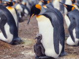 King Penguin with Young Chick (Aptenodytes Patagonica) South Georgia Photographic Print by  Reinhard