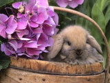 Baby Holland Lop Eared Rabbit in Basket, USA Photographic Print by Lynn M. Stone