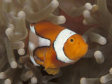False Clown Anemonefish, in Anemone, Indo-Pacific Poster by Jurgen Freund