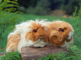 Domestic Peruvian Guinea Pigs (Cavia Porcellus) Europe Photographic Print by  Reinhard