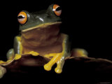 Red Eyed Treefrog, Queensland, Australia Poster by Jurgen Freund