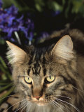 Maine Coon Domestic Cat, USA Photo by Lynn M. Stone