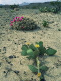 Big Bend National Park, Chihuahuan Desert, Texas, USA Strawberry Cactus and Prickly Pear Cactus Prints by Rolf Nussbaumer