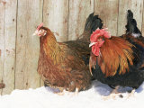 Red Dorking Domestic Chicken Cock and Hen, in Snow, Iowa, USA Photographic Print by Lynn M. Stone