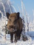 Wild Boar in Winter (Sus Scrofa), Europe Fotografisk trykk av  Reinhard
