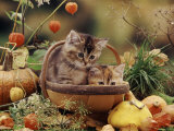 Two Domestic Kittens (Felis Catus) in Basket Surrounded by Pumpkins Posters by Jane Burton
