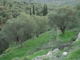 Terraced Olive Grove, Samos, Greece Premium Photographic Print by Rolf Nussbaumer