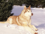 Siberian Husky Resting in Snow, USA Photographic Print by Lynn M. Stone
